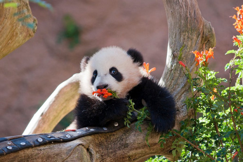 Gratuitous Panda photo.  This panda is incredibly cute and that is all!
