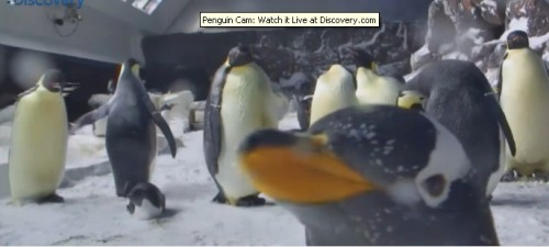 astrangerworld:  The Penguin Cam is my favorite thing in life right now.