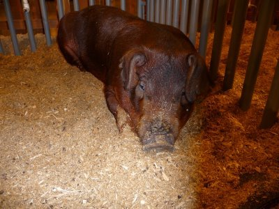 This perceptibly depressed pig is brown.