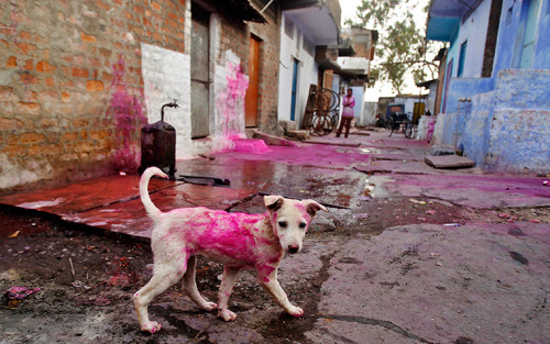 allcreatures:  Bhopal, India: A stray dog smeared with coloured powder walks in a lane on the last day of Holi festival celebrations Rafiq Maqbool/AP (via 24 hours in pictures | News | guardian.co.uk)