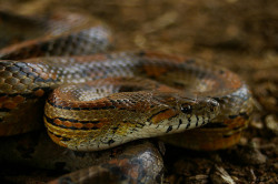Corn snakes (Pantherophis guttatus) are docile little fellas that roam the eastern United States, but can also be found in the southeastern US, primarily Florida. Eating every few days or so, they prefer to reside in wooded groves, rocky hillsides, meadows, woodlots, or any abandoned buildings they may decide to inhabit. Younger hatchlings may prefer lizards or tree frogs, but adults prefer larger prey, like mice, birds and bats. In order to successfully catch their prey, they will first bite it, then quickly proceed to wrap it's coils around it and squeeze tightly until the victim suffocates to death… Although the young, inexperienced individuals may swallow it alive, since they're new to the constrictor hunting habits. Their gentle behavior in comparison to other species makes them popular house pets, but their identity is easily mistaken for copperheads, which leads to their not-so-accidental death in many backyard homes. Habitat loss also threatens this species, but they are neither threatened nor endangered. Life spans of this slithering reptile are up to 23 years in captivity, but it's thought to be much less in the wild. Photo credit: disnox