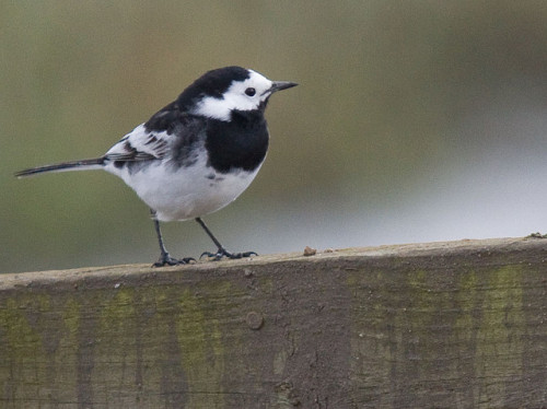 Pied Wagtail by oldbilluk on Flickr.