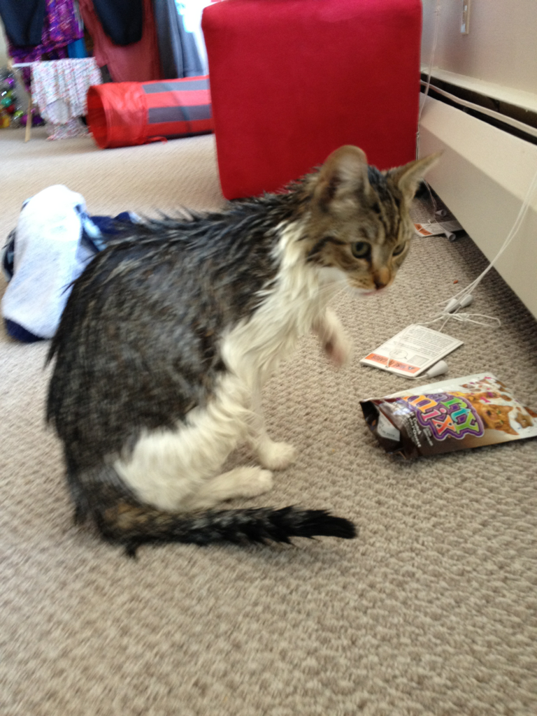 Gave my cat a bath instead of writing my essay. Dirty jokes about a damp cat.