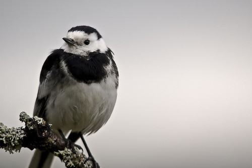 Pied Wagtail Motacilla alba by jamesdunbar42 on Flickr.