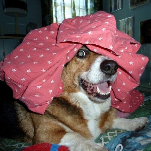 corgiaddict:  It was a pajamas-on-head kind of day today.  (submitted by scarlettown)