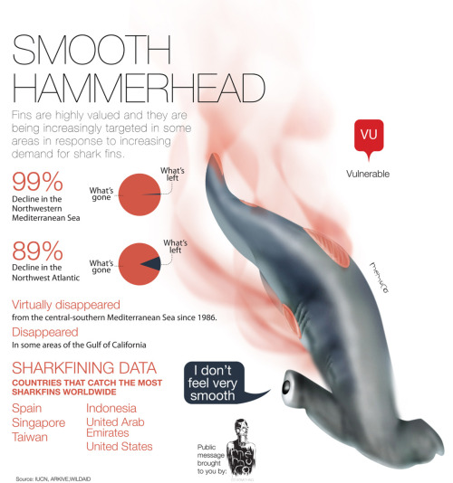 memuco:  Smooth Hammerhead
