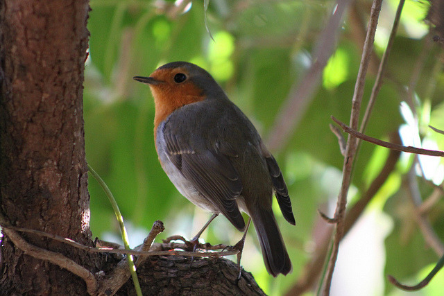 Robin / Rotkehlchen (Erithacus rubecula) on Flickr.