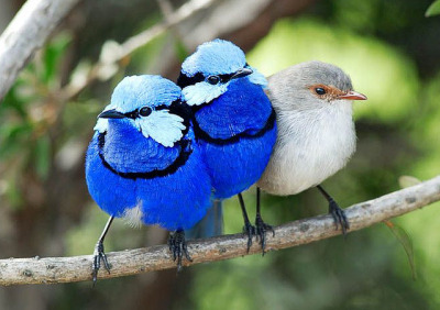 fairy-wren:  splendid fairy wrens (photo by feathers46)