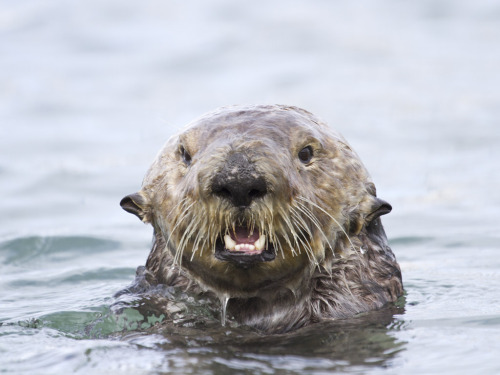 dailyotter:  Waterlogged Otter Is Surprised to See You Via Bill Bouton  He looks like a disgruntled old man.