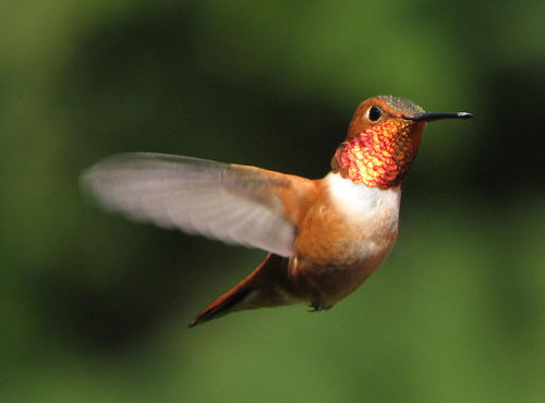 rhamphotheca:  Hummingbirds take no notice of flower colour  by Tamera Jones  Hummingbirds pay no attention to what colour a flower is when figuring out whether to raid it for nectar, the latest research suggests. Instead, they seem to focus on flowers' exact location. The researchers who led the study say it's not that the birds don't see the colour of different flowers – just like us, they can see in colour throughout the visible spectrum. But location is a much more reliable source of information and overshadows any information provided by colour. 'Although this goes against what you might expect – after all flowers must be coloured for a reason – our finding makes perfect sense,' says Dr Sue Healy from the University of St Andrews, co-author of the study. 'If they've fed from nectar-rich flowers before, that's a more useful guide to whether those flowers will contain nectar in the future than colour is.' Animals from dogs to butterflies and bees use colour to help them work out if something is likely to be a tasty meal. So it's not too far-fetched to expect that the colour of flowers could be important to hummingbirds too. Scientists have also noticed that the flowers that hummingbirds typically visit for food are often red. This led them to wonder whether this is just coincidence, or whether the birds prefer red flowers… (read more: Planet Earth Online)     (photo: Ryan Bushby)