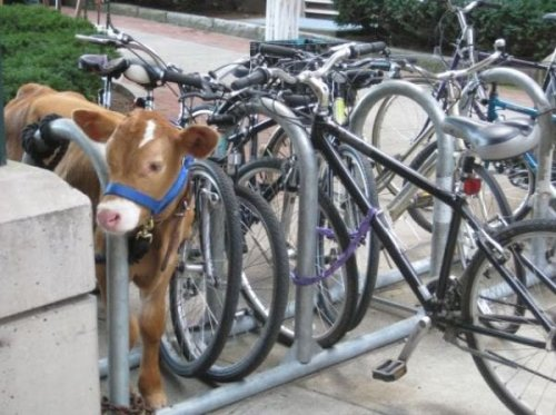 collegehumor:  Cow Tied to Bike Rack Great, someone stole the wheels off my cow again.