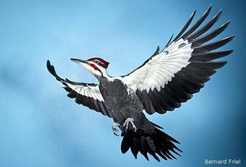 rhamphotheca:  Pileated Woodpecker (Dryocopus pileatus) (photo: Bernard Friel)     (via: NWF)