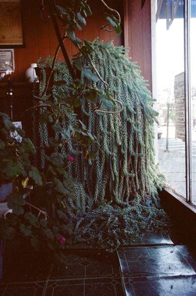 toddjordan:  burro's tail for the plant journal. hudson. august 2011.
