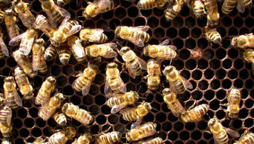 Thieves steal 5,000 honeybees from Houston restaurantTalk about your daring robberies. Unidentified thieves backed their pickup truck to Haven Restaurant in Houston, Tex., before dawn on Saturday and took off with a three-foot-high, 500-pound beehive.