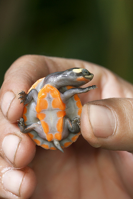 sdzoo:  Red-bellied short-necked turtle  on Flickr. Disco turtle has moves!  If you're like me this is your first time seeing the rare red-bellied short-necked turtle and you're pleased about it.