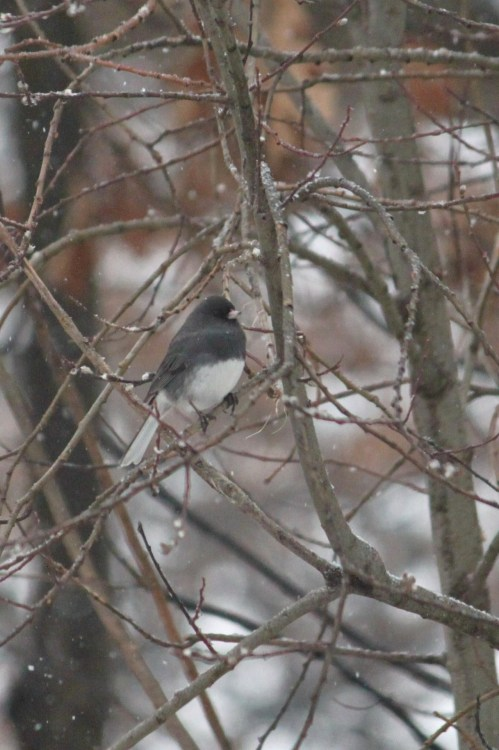 1.17.12d…Dark-eyed Junco (copyright Jenn Garza 2012)