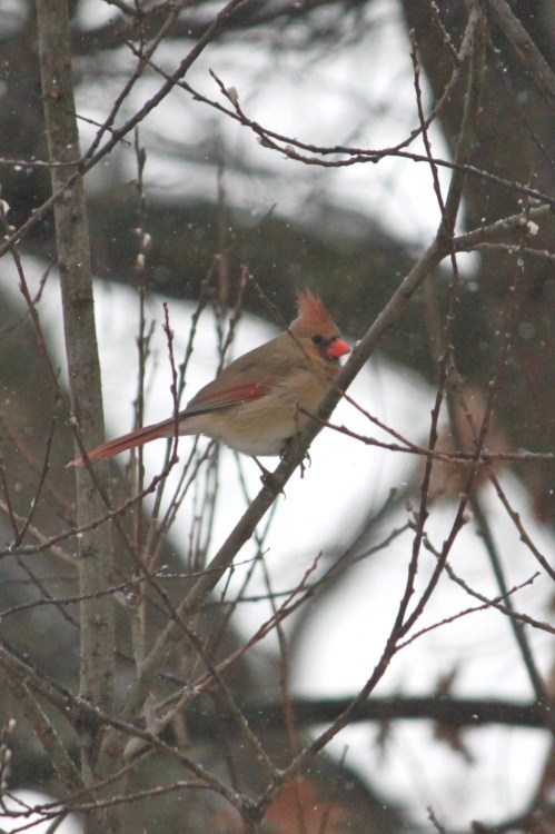 1.17.12f…Northern Cardinal (female) (copyright Jenn Garza 2012)