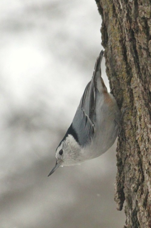 1.17.12h…White-breasted Nuthatch (copyright Jenn Garza 2012)