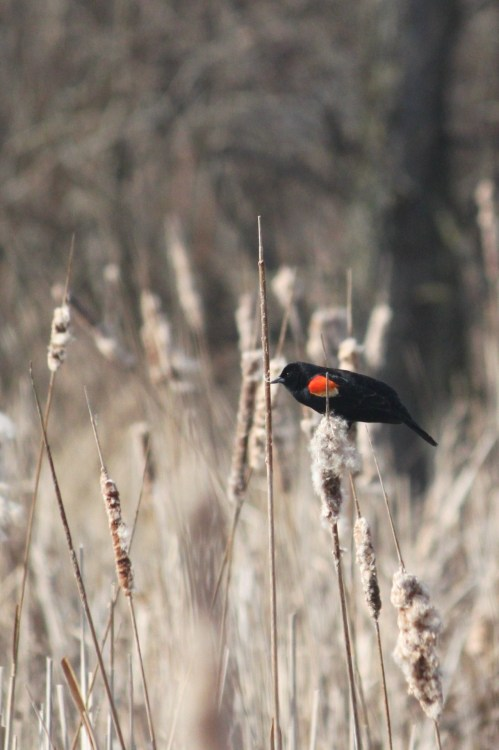 3.14.12b…Red-winged Blackbird (copyright Jenn Garza 2012)