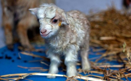 allcreatures:  Noori, a cloned pashmina goat, stands inside a breeding centre at Sher-e-Kashmir University of Agricultural Sciences and Technology in Alastang, near Srinagar, India,. Scientists at the university say they have successfully cloned a pashmina goat, prized for its fine wool.