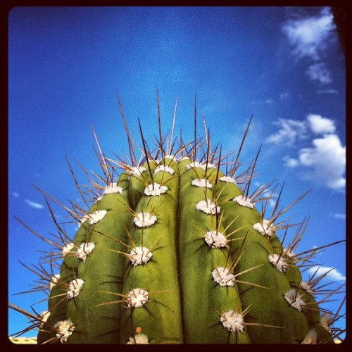 Saguaro 2, in spite of it all! #saguaro #desert  #summer #arizona  (Taken with instagram)