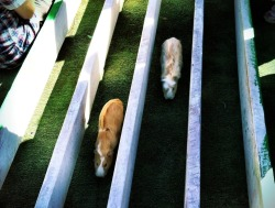 run little guinea pigs... RUN!