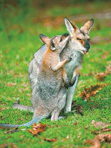 "Steve Parish: 50 Years Photographing Australia ""Pretty-face wallaby, Mother and Joey"""