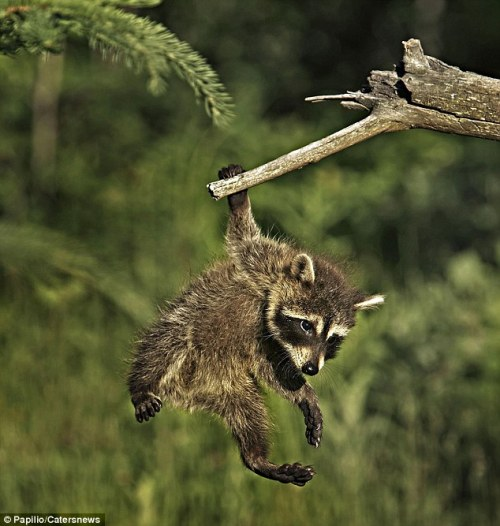 magicalnaturetour:   Nice recovery! Raccoon hangs on for dear life by one paw after slipping from his branch via Mail Online :)