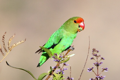 Black-winged Lovebird or Abyssinian Lovebird (Agapornis taranta) by Adam Riley  Click on the photo to see a bunch more awesome Ethiopian endemics!