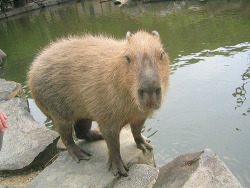 Capybara! on Flickr. No nonsense.