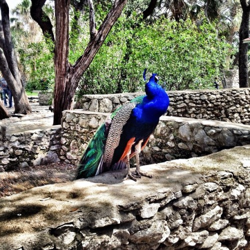 #Peacock swag… Slightly different than the rest of my #SXSW experience. Only in #Austin (Taken with instagram)