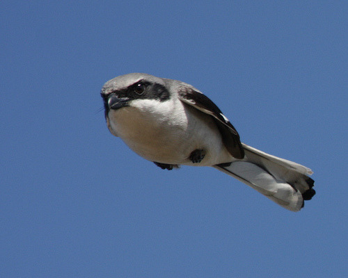 birdblog:  fairy-wren:  loggerhead shrike (photo by fastball95)  Someone clever please make a meme out of this or something. I find this bird way too funny.  but seriously