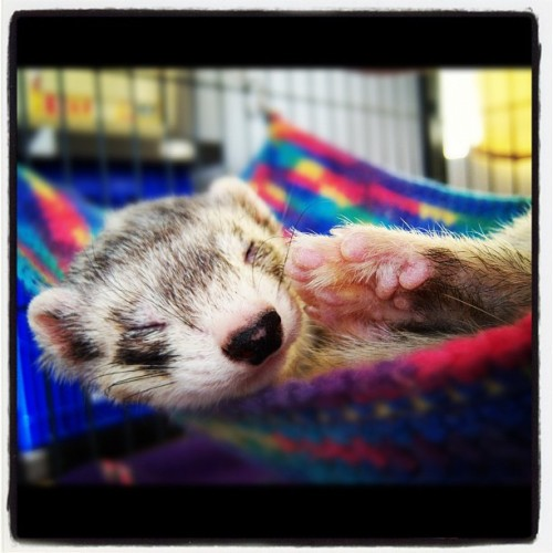 cannonball-the-ferret:  Lazy spring day. (Taken with instagram)