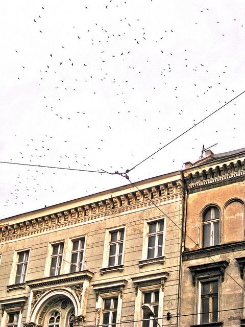 Crows in Wroclaw on Flickr.