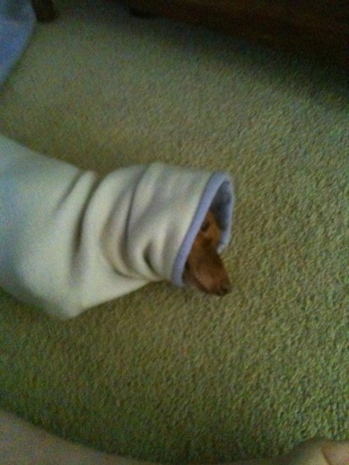 ilovedachshunds:  My dog believes that anything left on the floor is hers. So, she managed to stuff herself into a jacket sleeve - Submitted by lordoftheplants  go dog go. Burrow deeper and reach the end.