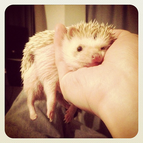 久々ダーシーだらーん #hedgehog (by D'arcy the Flying Hedgehog)