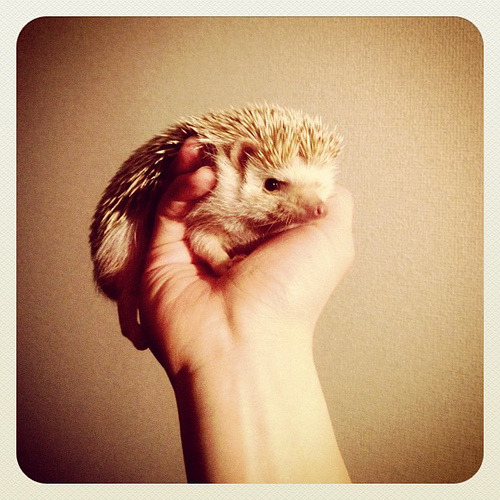 #hedgehog (by D'arcy the Flying Hedgehog)