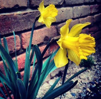 Daffodils on Flickr.