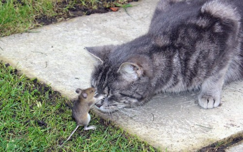 "thedailywhat:  Tom And Jerry IRL of the Day: An actual game of cat and mouse unfolded in a garden in Reigate, Surrey, when an audacious rodent took on his kitty captor for a full ten minutes before managing to escape. According to witnesses, the wood mouse was brought into the garden by the cat, who had most likely expected an easy meal. But the critter soon went all Mighty Mouse, pummelling the cat with a succession of effective blows before escaping. A neighbor who spotted the same mouse in his greenhouse said, ""he refused to run off. He was probably waiting patiently to smash a flower-pot over the cat's head!"" [telegraph.]"