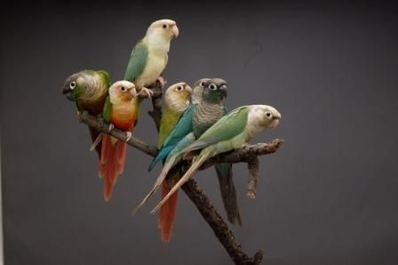birdworlds:  green cheek conure mutatations