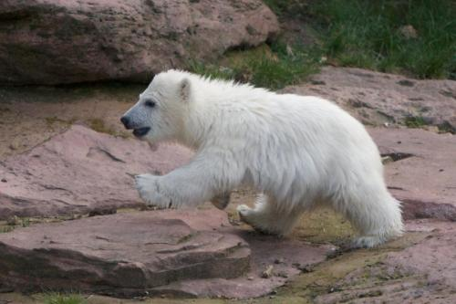 llbwwb:  Flocke the polar bear cub from Nuremberg,By:Zaphod
