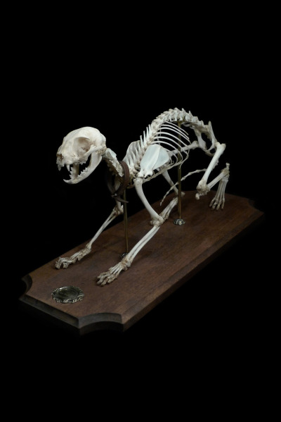 Eventually I will get Dread Beastie's and Tzepesh's skeletons articulated and mounted. For now, their bones are in their individual coffin boxes, and I tell them I love them every night.  Via ryanmatthewcohn:  Cat Skeleton. Articulated & Mounted by Ryan Matthew. Photo by Sergio Royzen.
