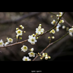 Lunchtime Blossoms on Flickr.Photos of plum flowers I took during the lunchtime last Friday. Camera: Panasonic Lumix DMC-GH2 Lens: Canon Lens New FD 85mm f/1.2L