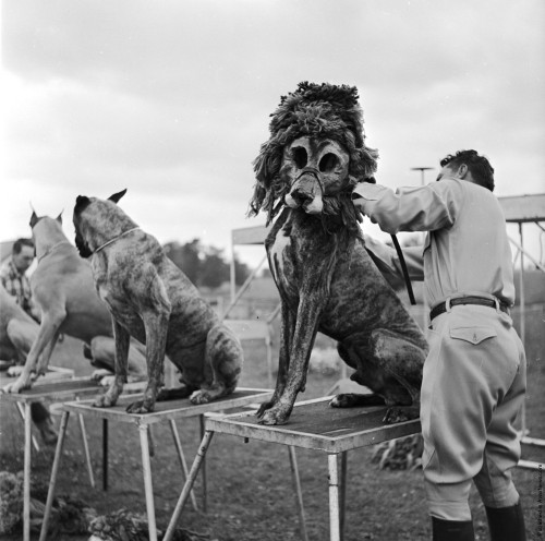 Animal trainer Robert Baudy dresses dogs as lions. The special lion masks worn by his dogs save him the cost and the danger of working with real lions. Audiences seem to like it as much as the real thing too, circa 1956.