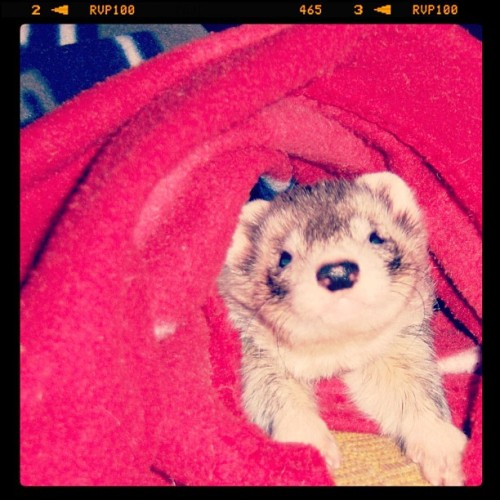 cannonball-the-ferret:  Cannonball the ferret. #ferret (Taken with instagram)