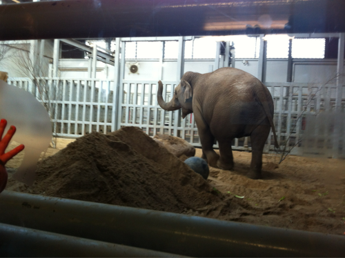 Elephant at the Dublin Zoo!