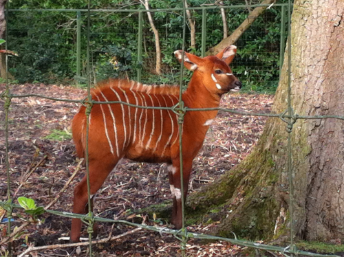 Baby Bongo at the Dublin Zoo
