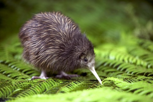 My favorite animal: THE KIWI