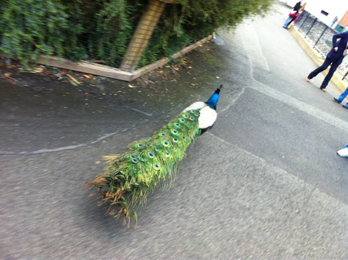 Random peacock walking through the zoo