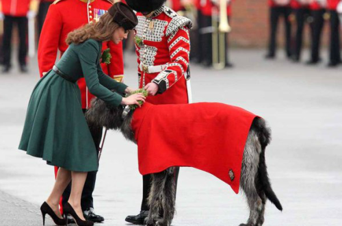 theraconteurasaurus:  The Duchess of Cambridge attaches a sprig shamrock to Cornmeal, an Irish Wolfhound, the mascot of The Irish Guards, at the Mons Barracks in Aldershot, England